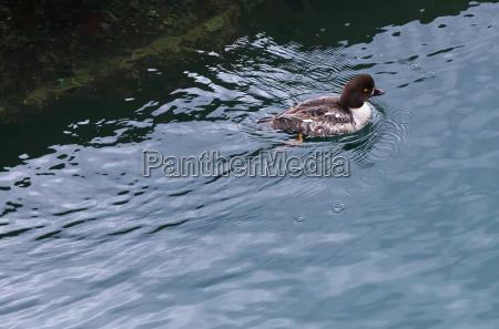 ringnecked duck