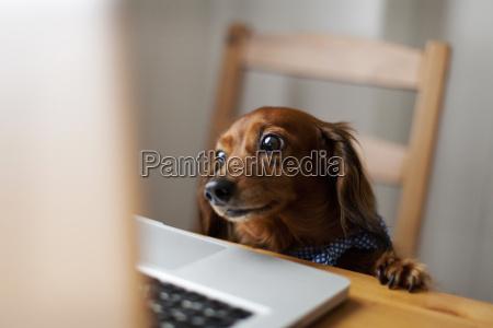 dachshund de cabelos compridos que olha