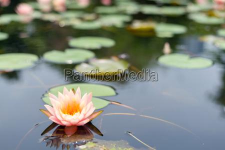 plantas de flor dos lotus
