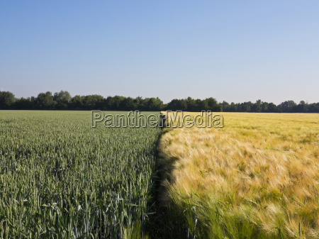 young wheat growing next to wheat