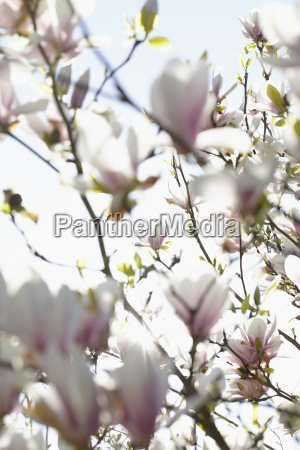 magnolia blossoms in spring hamburg germany