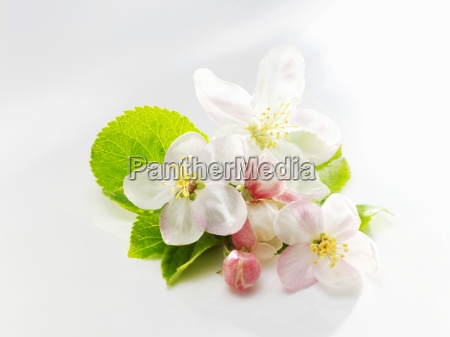 apple blossom and apple leaves