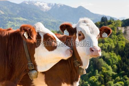 vacas que desgastam tag da orelha