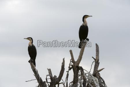 passeio viajar arvore africa quenia cormorant