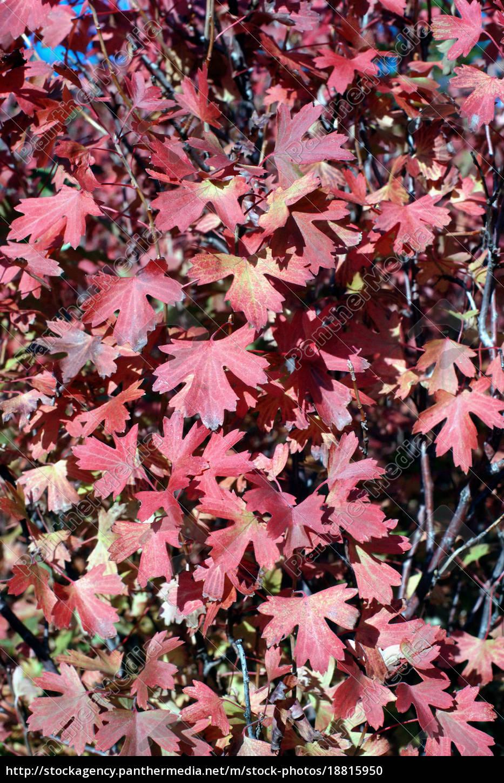 folhas, do, outono - 18815950