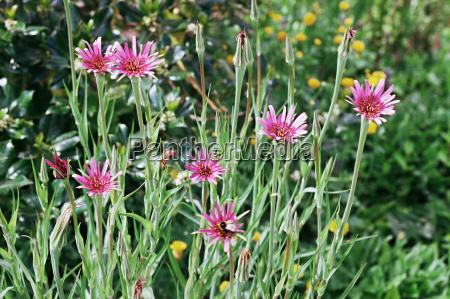 salsify flowers