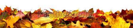 colorful leaves as autumn border isolated