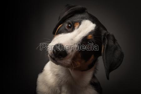 appenzeller sennenhund in the portrait