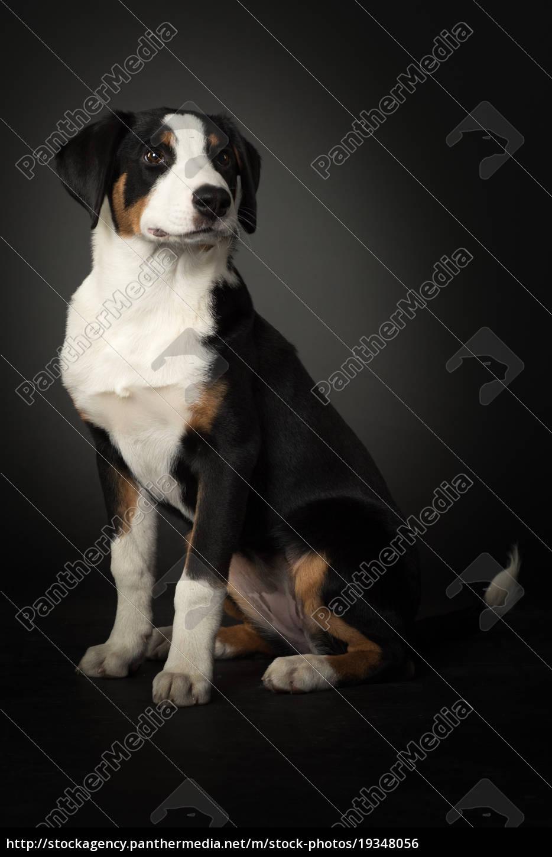 appenzeller, sennenhund, macht, sitz, auf, schwarz - 19348056