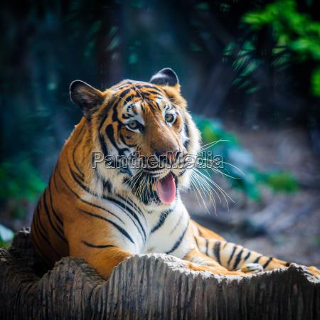 tigre retrato de um tigre de