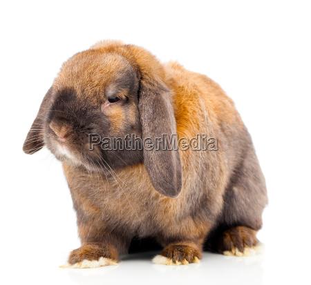 coelho de brown