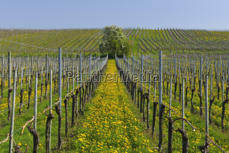vineyard with dandelions in spring hagnau