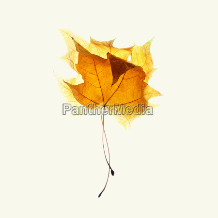 two maple leaves on white background