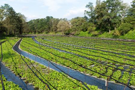 alimento tempero asia agricultura campo maduro