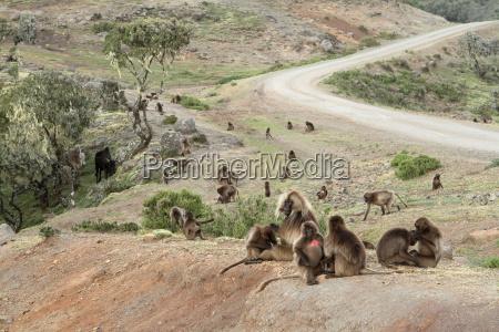 macaco babuino