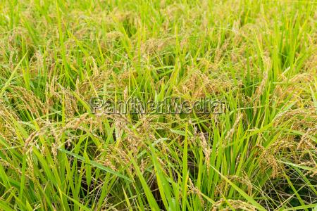 alimento folha closeup asia agricultura campo