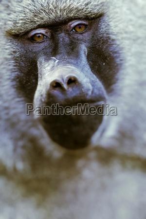 babuino parque nacional de tarangire reserva