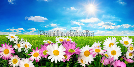 flowers green field and blue sky