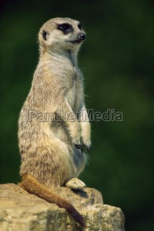 meerkat no look out jardim zoologico