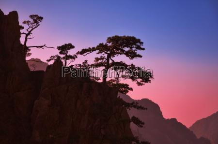 pine trees white cloud scenic area