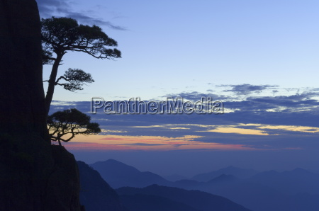 silhouette of pine tree white cloud