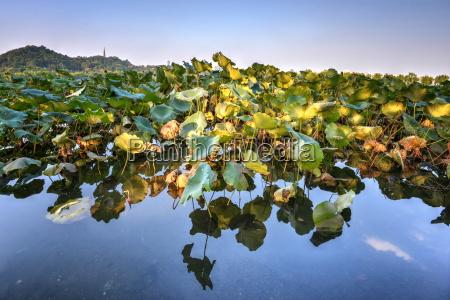 lotus plants at baidi causeway with