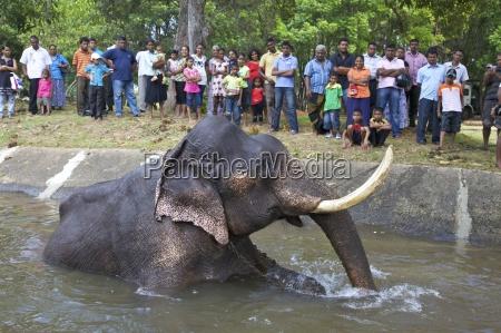 captive asiatic elephant elephas maximus maximus