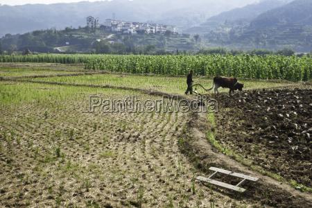 farmer with water buffalo plowing a
