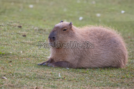 capybara resting in a clearing
