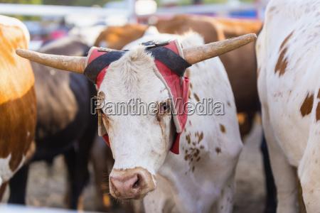 usa texas livestock cattle