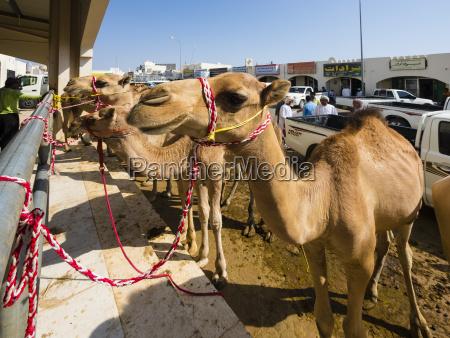 passeio viajar animal mamifero camelo bolsa