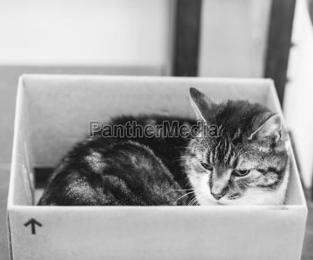 gato de tabby dentro da caixa