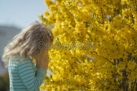 little girl smelling blossoms of forsythia