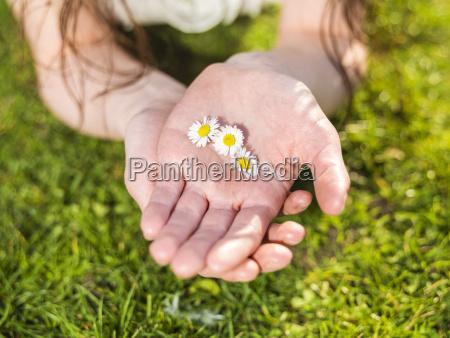 mao de flores da margarida da