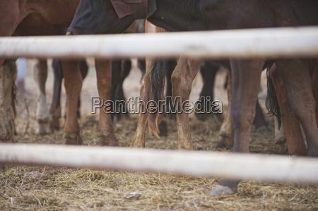 usa texas legs of cattle seen