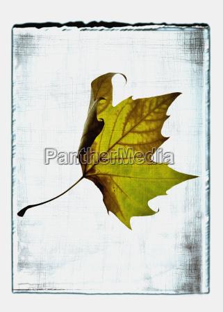 colagem da folha de platano com