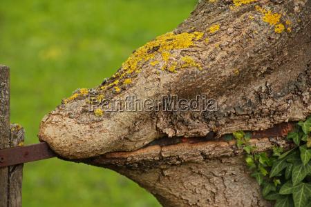 cerca do metal encravada no tronco