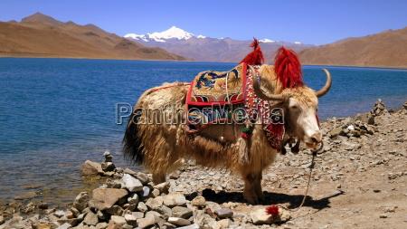 highland decorado bovino tibete montar animal