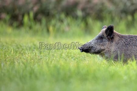 varrao selvagem na grama um retrato