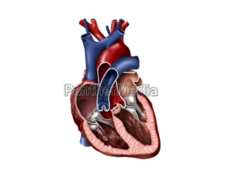 cross section of human heart