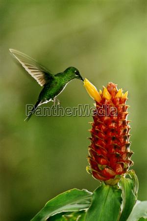 colibri brilhante verde coroado jacula de