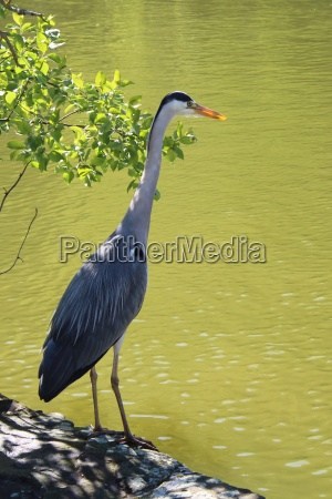 the grey heron is lurking for
