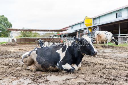 azul animal mamifero agricultura campo negro