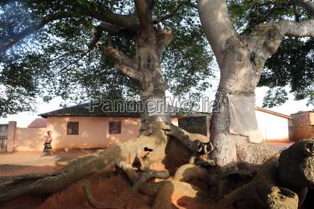 voodoo sacred tree togoville togo west