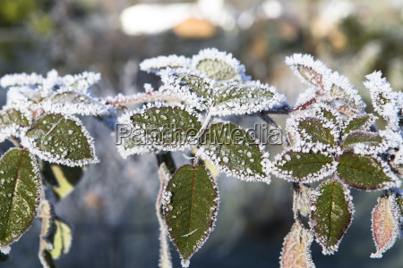 vinter blade frossen frostbundet snefald rimfrost
