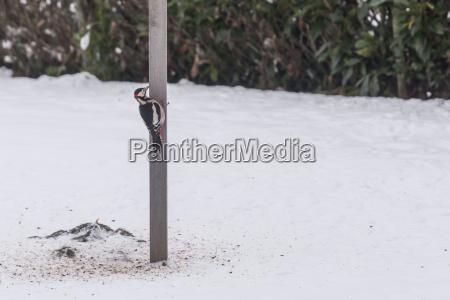 woodpecker colorfully no inverno em torno