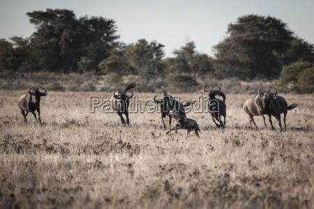 animal africa horizontalmente cao animais selvagens