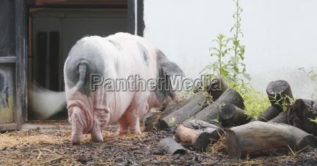 alimento industria animal mamifero agricultura negro
