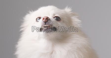 cao pomerania branco ficar com raiva