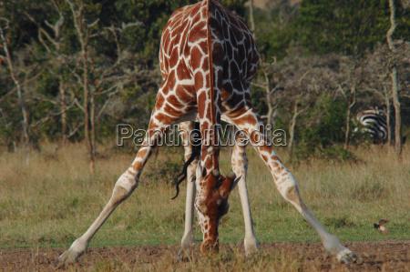 pernas beber bebida animal mamifero parque